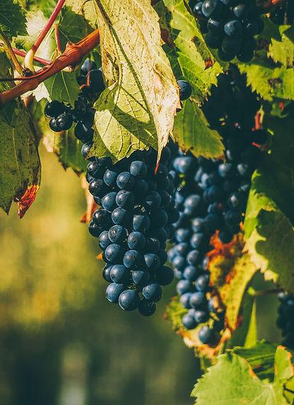 photo-of-grapevine-3487715.jpg
