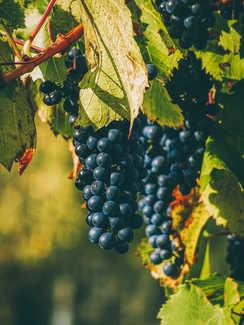 avguštin hrana ritoznoj vino