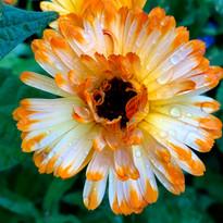 Calendula - herbalistC5.jpg