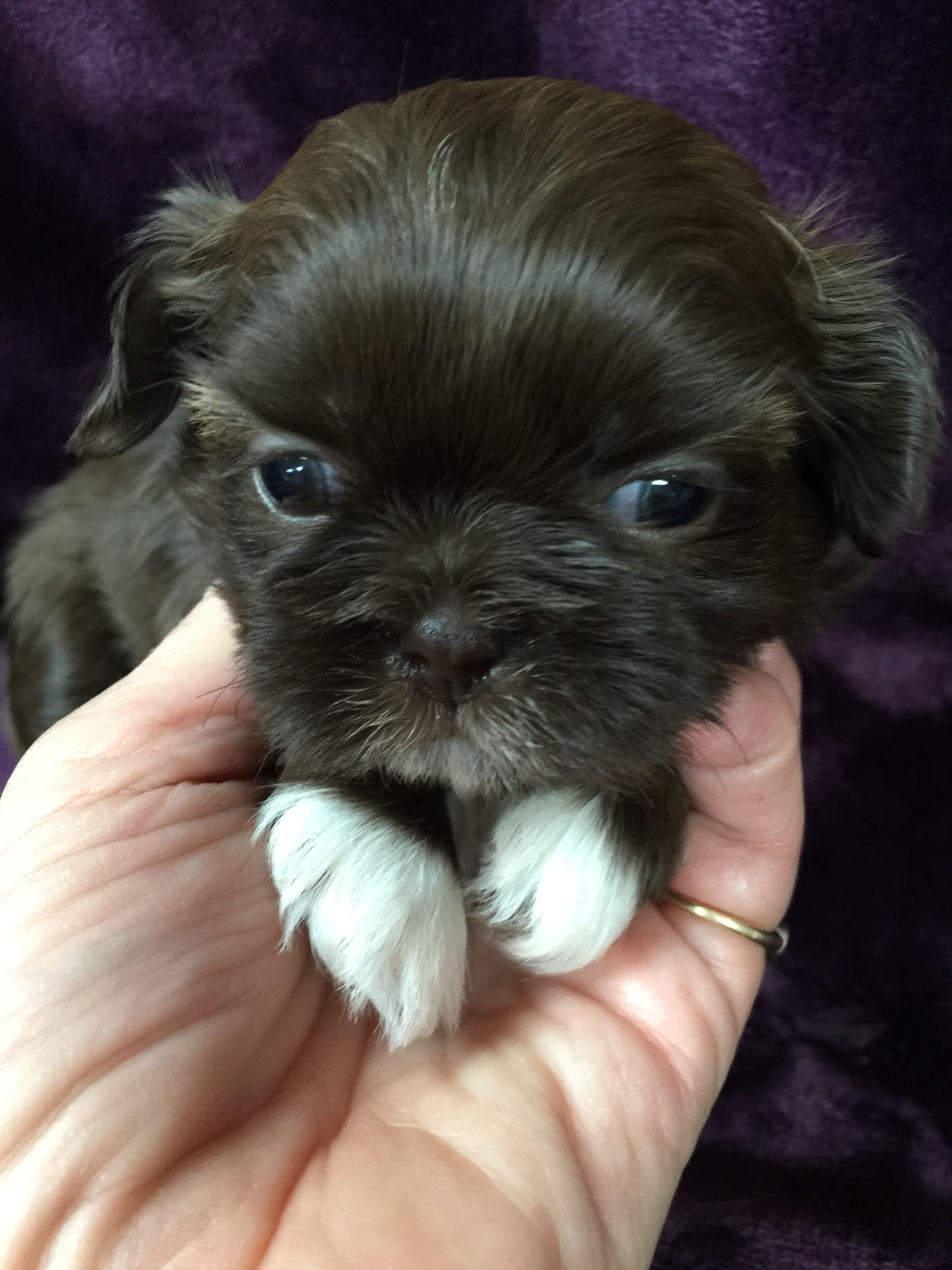 Deborah's Yorkies Puppy for Sale