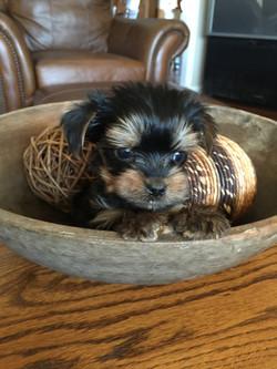 Deborah's Yorkies Puppy for Sale