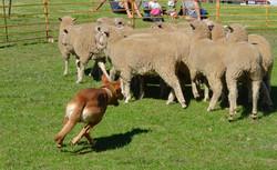 BSFFD-Dog-Herding