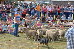 BSFFD-Sheep-Dog-At-Work
