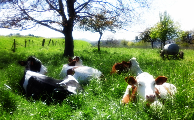 30 Fabienne EDMOND - les vaches dans les vignes