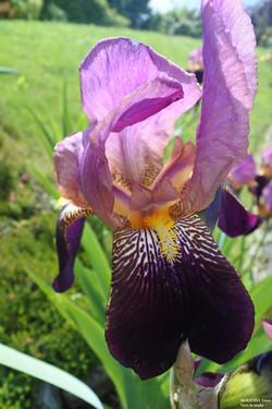 27Enzo MOUCHEL - fleur
