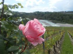 4 DRAPPIER BERTHOUD Marius - rose de vigne