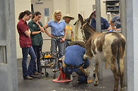 Many of the donkeys, mules and horses we rescue require medical to return them to health