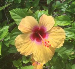 Beautiful yellow Hisbiscus