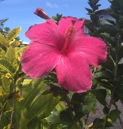 Beautiful Hibiscus flowers