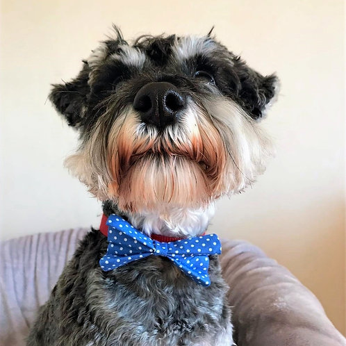 Dog Dickie Bow Blue Polka Dot by Woof Stuff Dublin Ireland