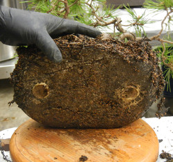 Bottom of root mass from old pot
