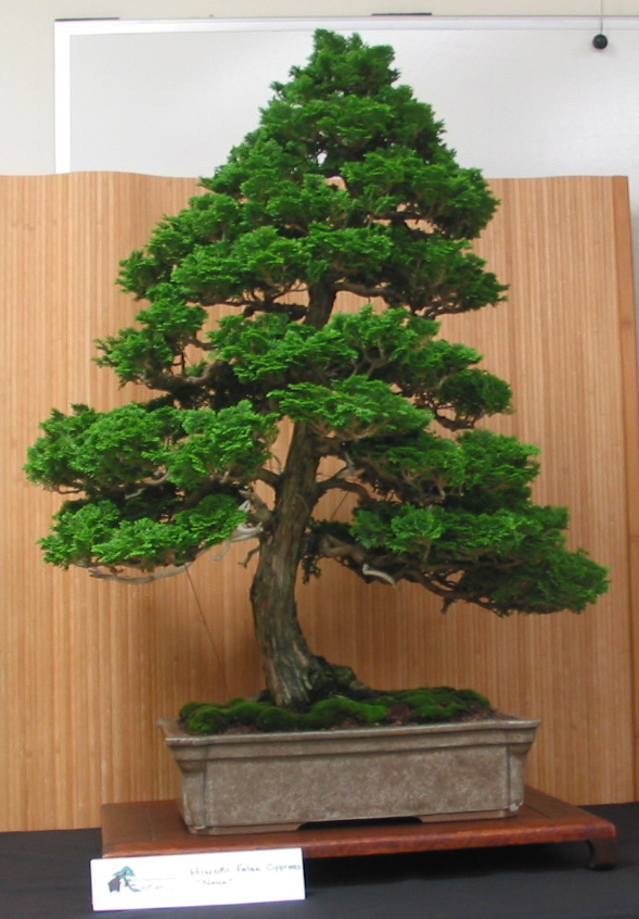 Hinoke False Cypress
