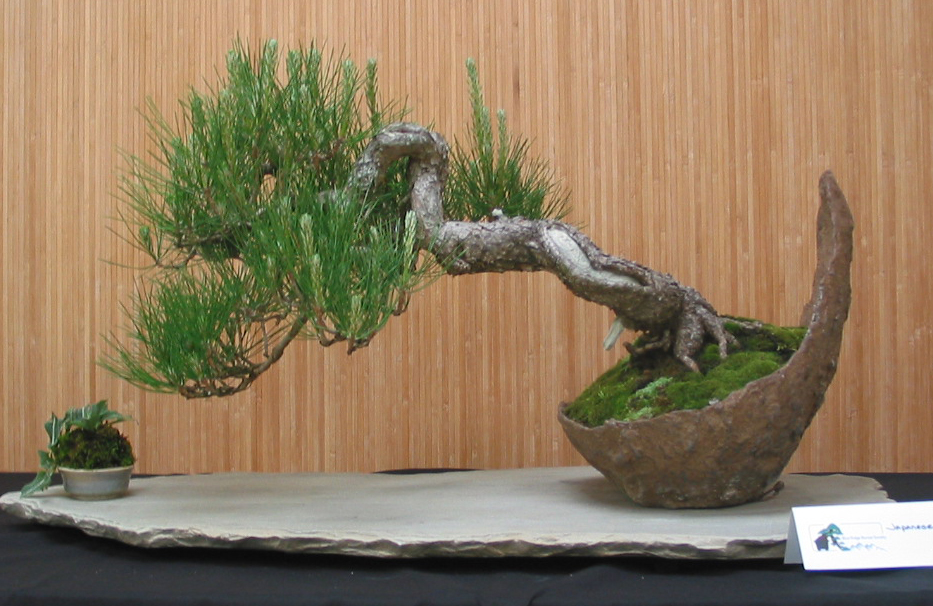 Japanese Black Pine - mature bonsai