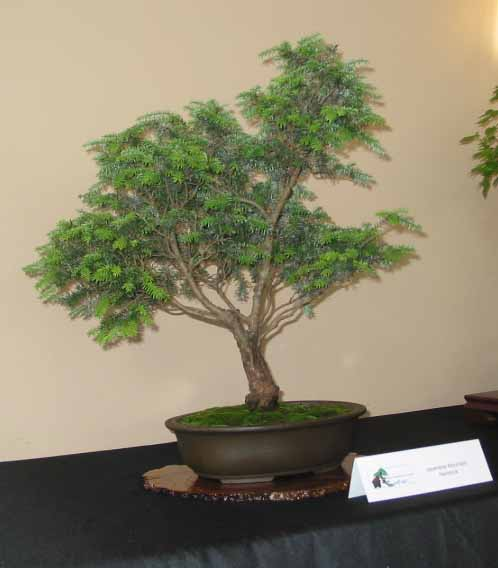 Japanese Mountain Hemlock