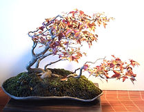 Bonsai maple raft in fall