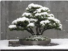 Mugo pine bonsai in snow