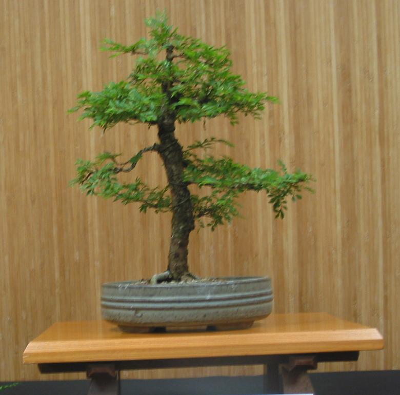 Dwarf Chinese Elm
