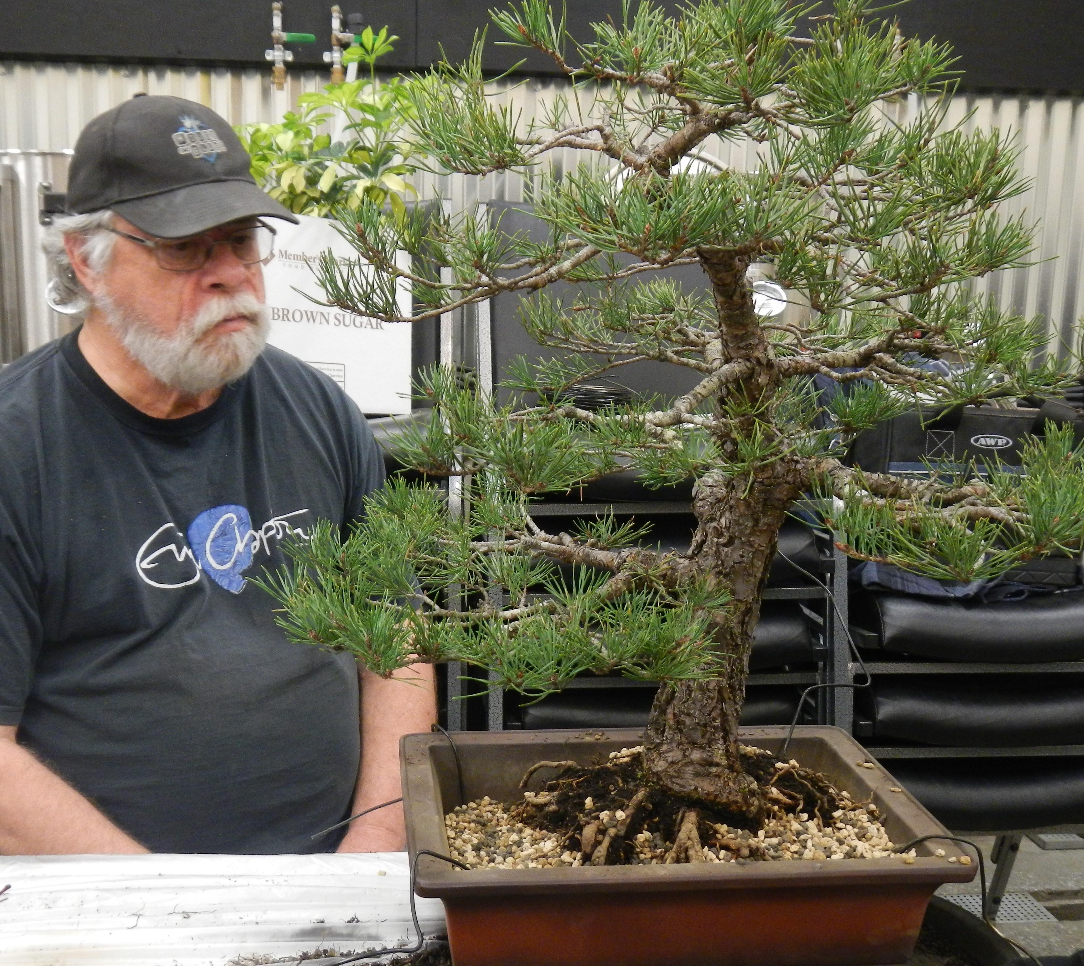 John's pine