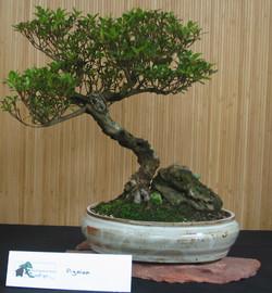 Azalea, with rock
