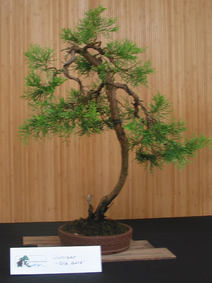 "Juniper, ""Old Gold"""