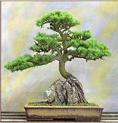 Bonsai pine. Classical Japanese design