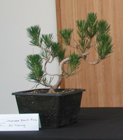 Japanese black pine -- just started