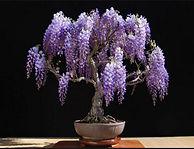 Wisteria bonsai in bloom