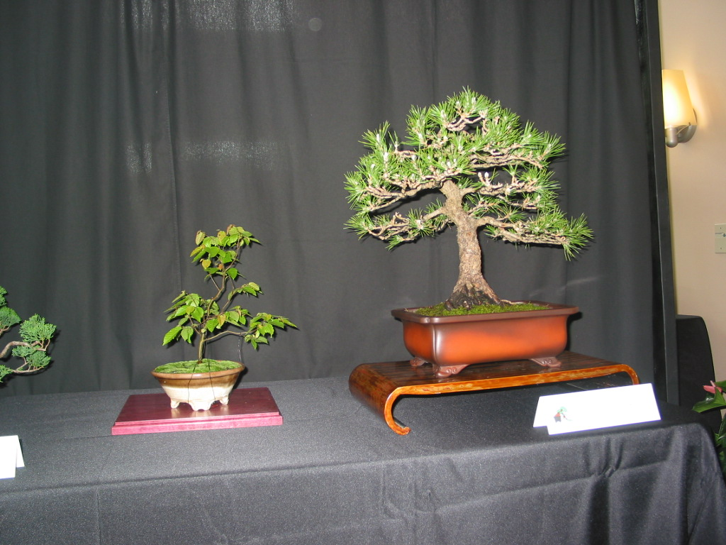 Carolina Hormbeam and Black Pine