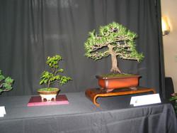 Carolina Hormbeam and Black Pine