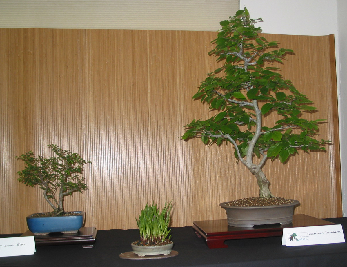 Chinese Elm and American Hornbeam
