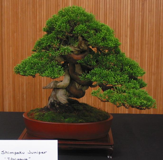 """Shimpaku Juniper, """"Itoigawa"""""""