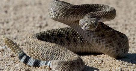 Snake Bite Kits are Useless & Dangerous