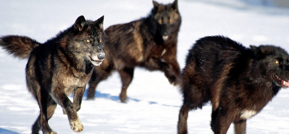 black-wolf-pack-running_edited.jpg
