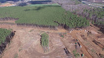 Pine Plantation Clear Cut