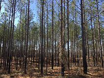 Thinned Pine Plantation