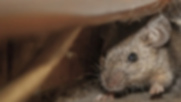 house-mouse-in-nyc.webp