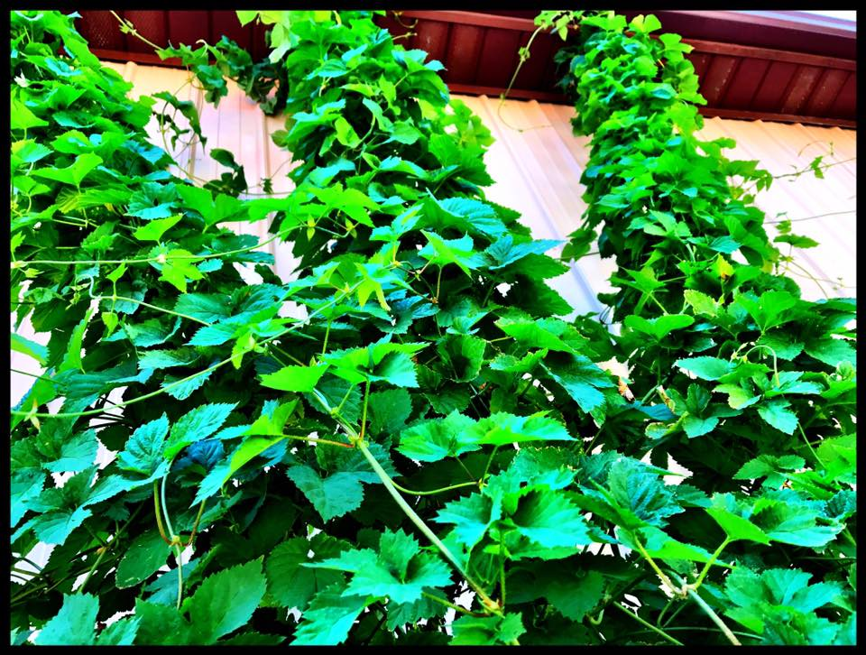 Hops in the Beer Garden