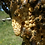 Thumbnail: Natural Cell Mated Queen Bee