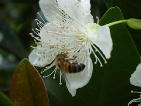 grumichama & honey bee.png