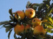 Pomme Goldrush cueillette verger Bonnes