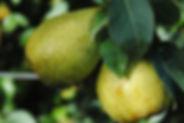 Poire Leclerc Les Jardins de la frolle