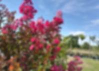 Lilas des Indes Jardins de la Frolle