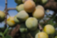Prune Reine Claude Bavay Jardin cueillet