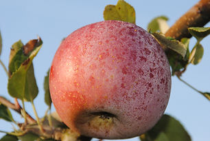 Pomme Fuji jardin verger cueillette de l