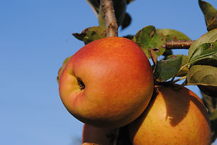 Pomme Golden rosee Leratess Les Jardins de la frolle