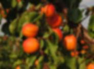 abricot 22062017.JPG