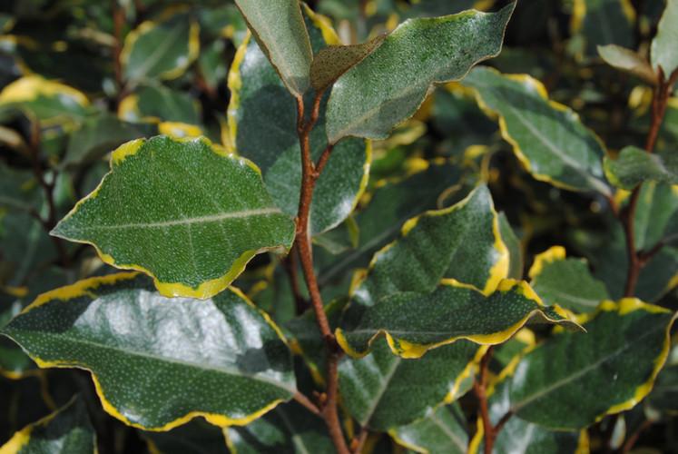 Eleagnus Viveleg Arbuste persistant Pepi