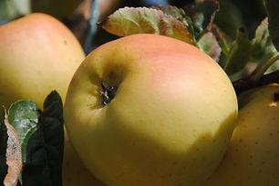 Pomme Opal Les Jardins de la Frolle
