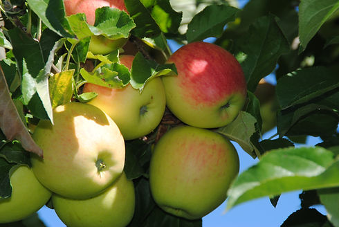 Pomme pinova cueillette