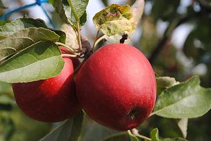 Pomme Pilot Les Jardins de la Frolle